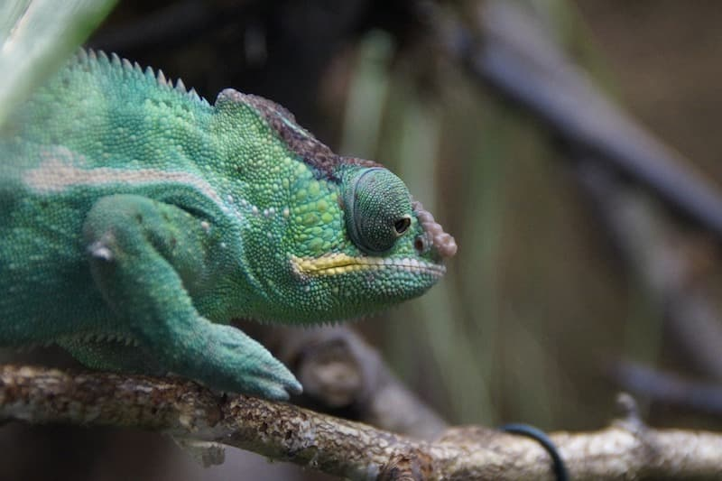 A chameleon standing on a branch
